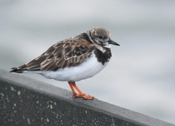 Shorebird portrait
