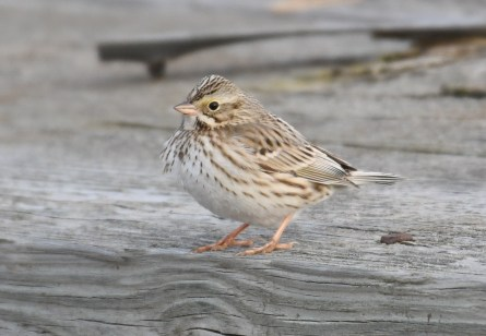 These are not the sparrows you're looking for