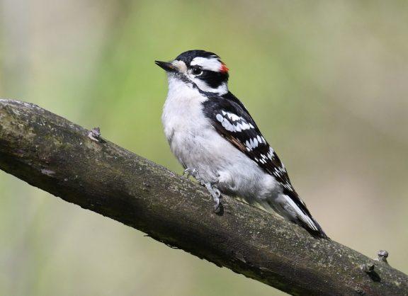 A wee woodpecker