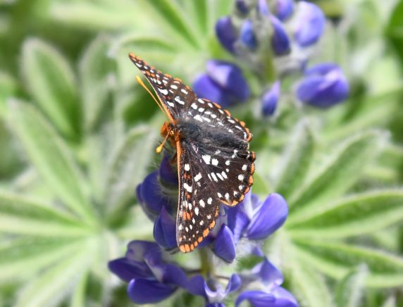 Alpine wildflower beauties