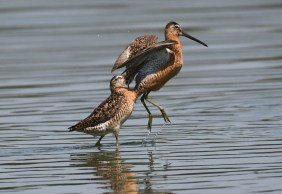 A dowitcher gets goosed