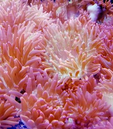 Entacmaea quadricolor Anemone Nachzucht