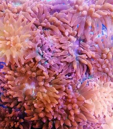 Entacmaea quadricolor Anemone
