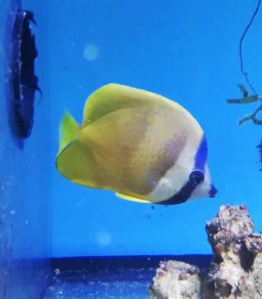 Chaetodon kleini - Kleins Falterfisch