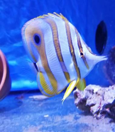 Chelmon rostratus Pinzettfisch
