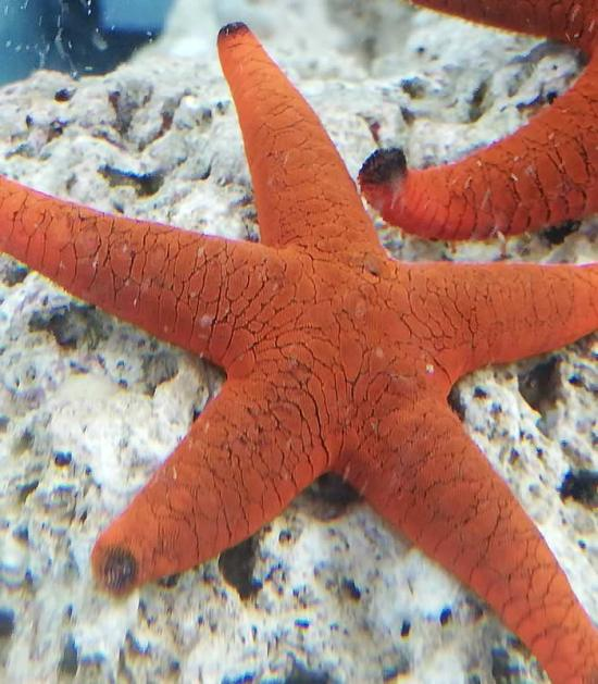 Fromia indica - Nemo quaristik