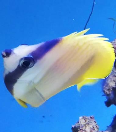Kleins Falterfisch