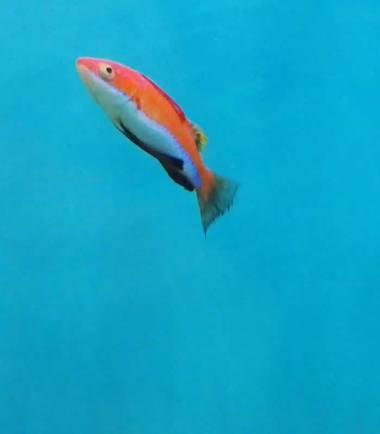 Cirrhilabrus rubriventralis - Geselliger Zwerglippfisch