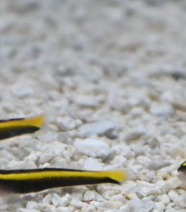 Elacatinus figaro - Gelbe Neonputzergrundel Nachzucht 4