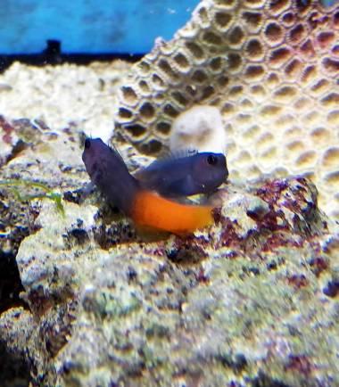 Ecsenius bicolor - zweifarbiger Schleimfisch