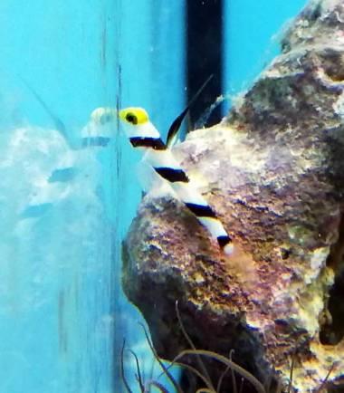 Stonogobiops nematodes - Lanzen Symbiosegrundel
