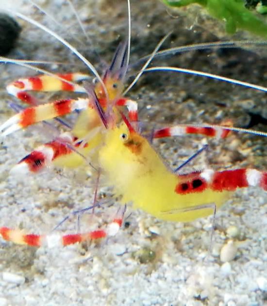 Stenopus cyanoscelis - Blaubein Scherengarnele