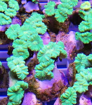 grüne Flötenkoralle