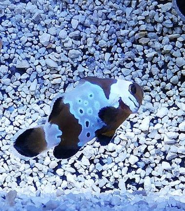 Amphiprion ocellaris extrem Misbar Nemo-Aqua