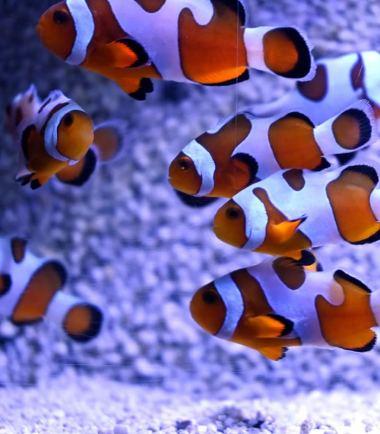 Amphiprion ocellaris extrem Misbar Nemo-Aquaristik