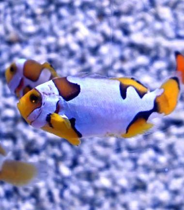 Amphiprion percula Picasso extrem Nemo