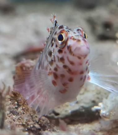 Falks Korallenwächter online kaufen