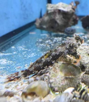 Neosynchiropus ocellatus - Augenfleck Madarinfisch