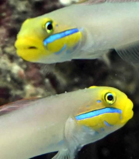 Valenciennea strigata - Goldstirn Schläfergrundel Paar