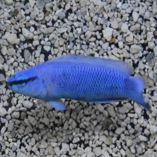 Pseudochromis Indigo fridmani