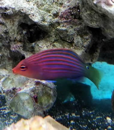 Pseudocheilinus hexataenia - Sechsstreifen Lippfisch