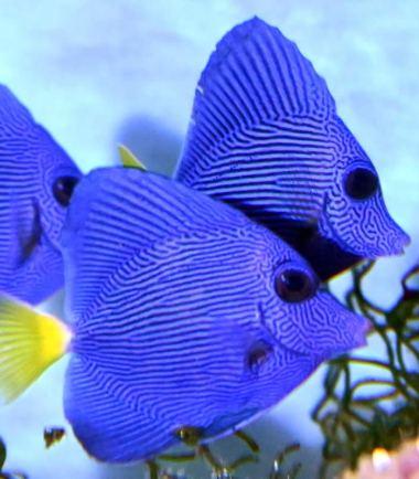 Zebrasoma xanthurum - Rotmeer Doktorfisch