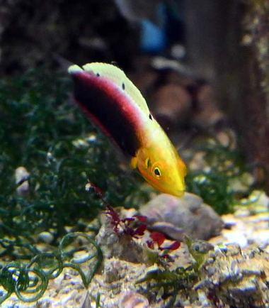 Gelbkopfjunker - Nemo Aquaristik