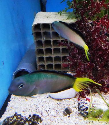 Afrikanischer Leierschwanz Schleimfisch