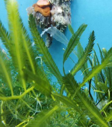 Caulerpa taxifolia Kriechsprossalge 4