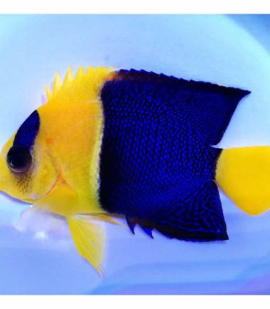 Centropyge bicolor Blaugelber Zwergkaiserfisch Nemo Aquaristik
