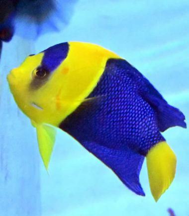 Centropyge bicolor - Blaugelber Zwergkaiserfisch