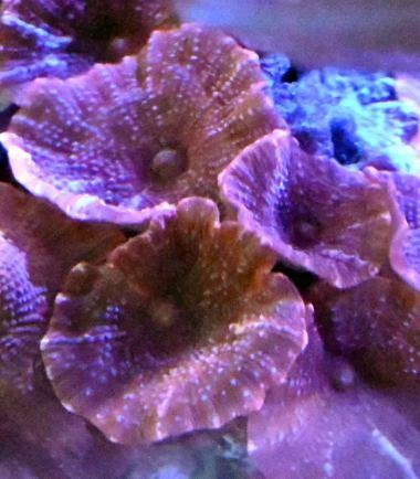 Scheibenanemone rot Nemo Aquaristik