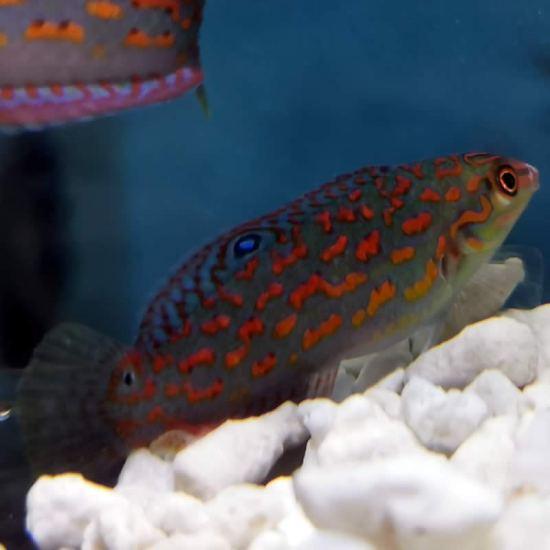 Halichoeres timorensis - Timor Lippfisch