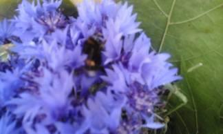 Дима заметил в цветах толстого важного шмеля, который собирал нектар с васильков