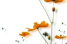 涼しげなオレンジ色のコスモス