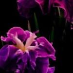菖蒲の写真素材