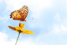 コスモスとヒョウモンチョウの写真素材(2パターン)