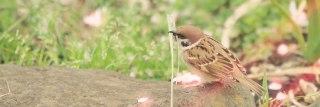 枝葉を集める雀(スズメ)(2パターン)