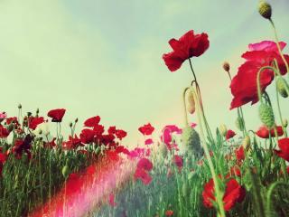 【高解像度】赤いひなげしの畑(3パターン)