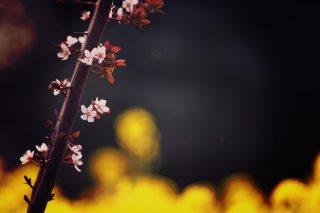 【高解像度】枝に咲く西洋李(プラム)の花(3パターン)