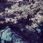 【高解像度】池のほとりに咲く桜(3パターン)