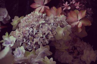 【高解像度】フリルのような紫陽花(アジサイ)(3パターン)