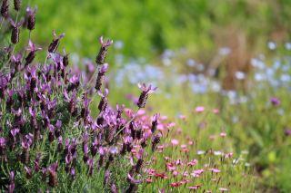 【高解像度】ラベンダーが咲く花畑(3パターン)