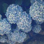 【高解像度】石垣の上に咲く毬状の紫陽花(アジサイ)(3パターン)