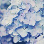 【高解像度】淡い雰囲気の紫陽花(アジサイ)(3パターン)