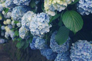 【高解像度】満開の紫陽花(アジサイ)(3パターン)