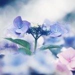 【高解像度】柔らかい花に囲まれた紫陽花(アジサイ)(3パターン)