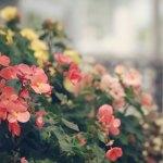 【高解像度】ベゴニアの赤い花(3パターン)