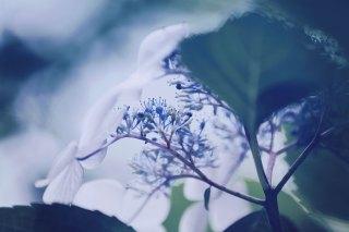 【高解像度】しっとりと咲く紫陽花の裏側(3パターン)