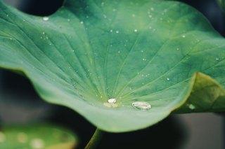 【高解像度】水を弾く蓮の葉 (3パターン)